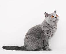 Zriedkavo môžeme túto farbu vidieť aj u domácich mačiek a8c410bf707